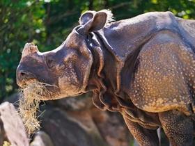 强壮的犀牛