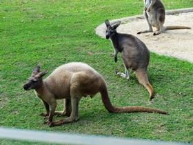 動物園里的袋鼠