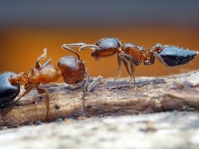 微距螞蟻圖片