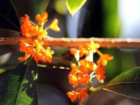 金黄飘香的桂花图片