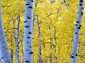 秋季金黄的白桦林图片