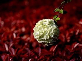 白色绣球花图片