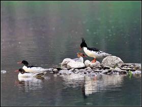 中華秋沙鴨