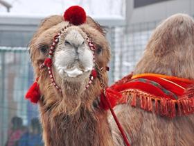 庙会上的骆驼