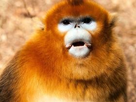 佛坪金丝猴
