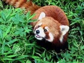 漂亮的小熊貓