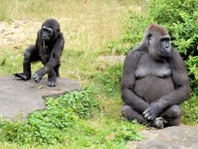 大猩猩圖片