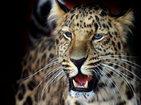 亞洲花豹高清動物圖片特寫