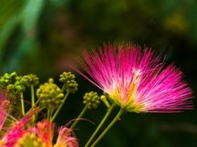粉色合欢花图片