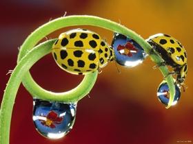 可愛的小瓢蟲圖片