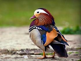 鴛鴦鳥類圖片