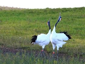 丹顶鹤跳舞摄影图片