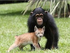 猞猁与黑猩猩成形影不离的伙伴