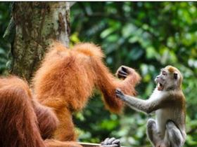 猩猩斗猕猴