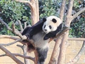 熊猫摄影图片 萌态十足