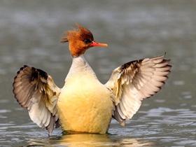 中華秋沙鴨攝影圖片