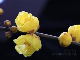 盛開的臘梅花圖片