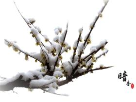 雪中臘梅圖片