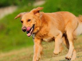 棕黄色金毛犬
