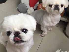 纯白色可爱小京巴狗