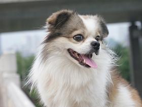可爱的京巴狗图片