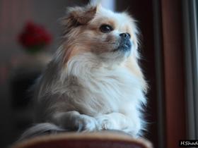 我家的京巴犬
