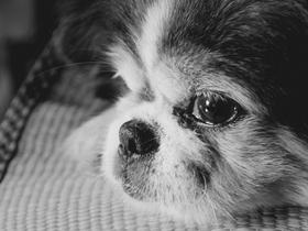 已暮之年的老年京巴狗