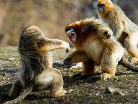 一級保護動物金絲猴