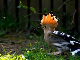 有王冠的戴胜鸟