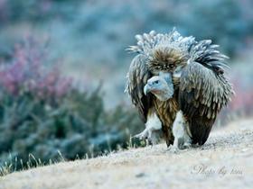 国家重点保护动物秃鹫
