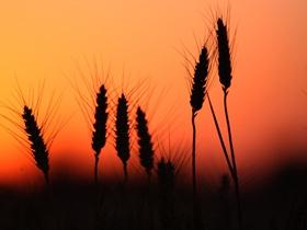 夕陽下的麥穗