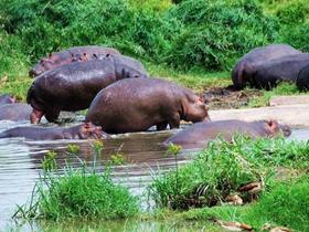 非洲肯尼亚河马