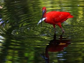 鸟类美洲红鹮