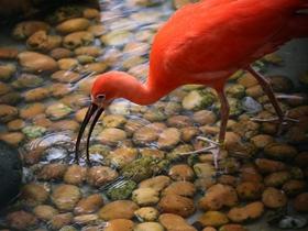 清澈溪水中的美洲红鹮