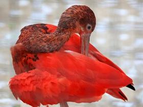 世界珍稀鸟类红鹮