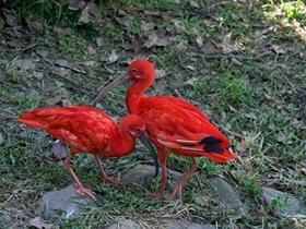 野生动物园红鹮
