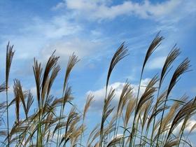 芒草遍生家乡的山野