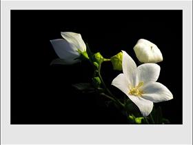 白色的桔梗花