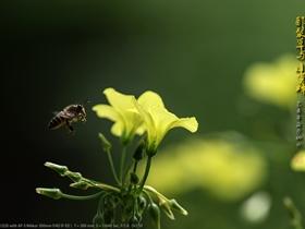 酢漿草和小蜜蜂