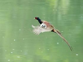 羽色华丽的雉鸡