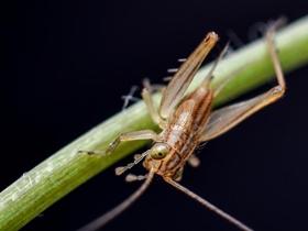 微距拍攝小蟋蟀