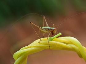 蟋蟀仔圖片