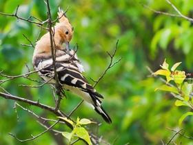 树枝上的戴胜鸟