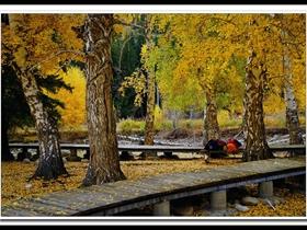 额尔齐斯河的白桦林