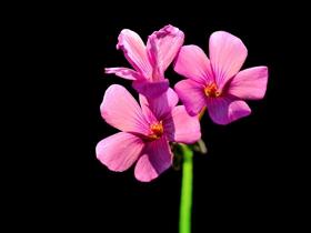 幾片紅花酢漿草