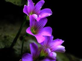 藥用植物紅花酢漿草