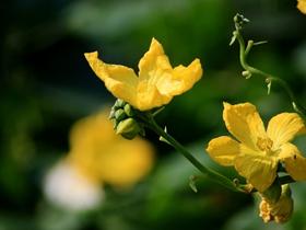 金黄的丝瓜花