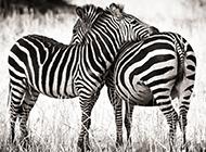 草原玩耍的黑白斑马图片壁纸