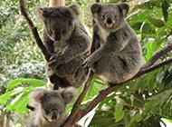澳大利亞樹袋熊考拉可愛圖片大全