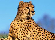 大型食肉動物花豹圖片特寫